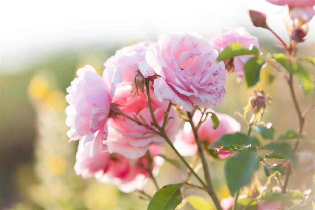 růže demeter
